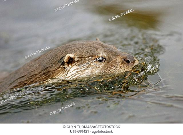Otter swimming Lutra lutra