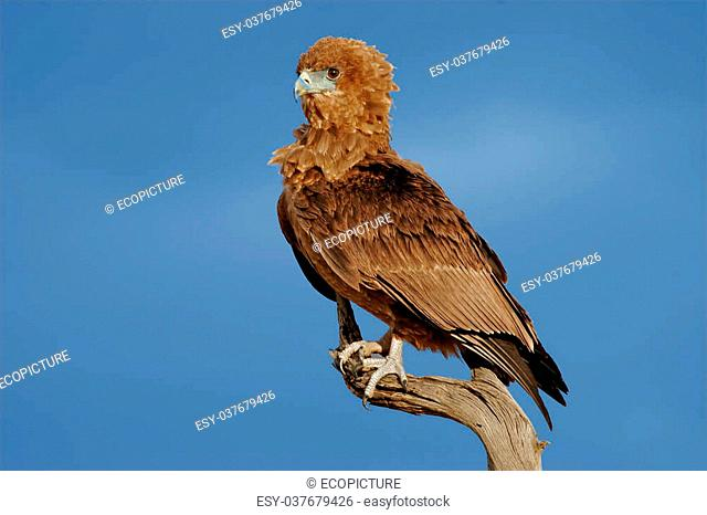 Young, immature bateleur eagle (Terathopius ecaudatus) on a branch, Kalahari desert, South Africa