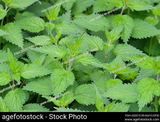 14 May 2020, Brandenburg, Lehde: The stinging nettle (Urtica dioica) is a plant species of the genus Urtica. Photo: Patrick Pleul/dpa-Zentralbild/ZB