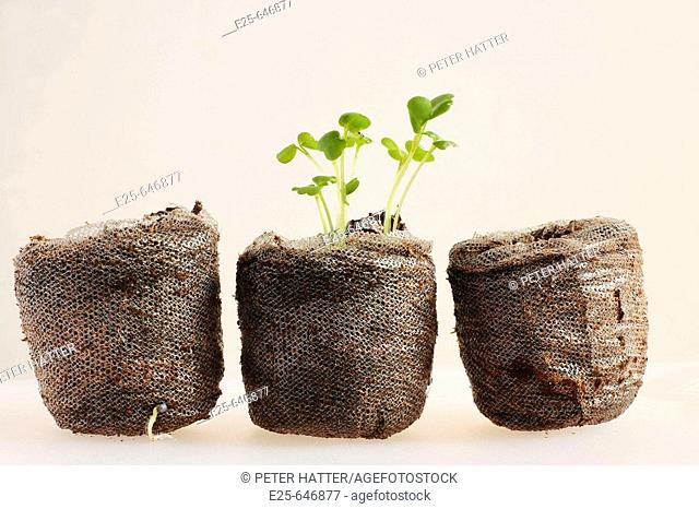 Rocket seedling in compost pellet