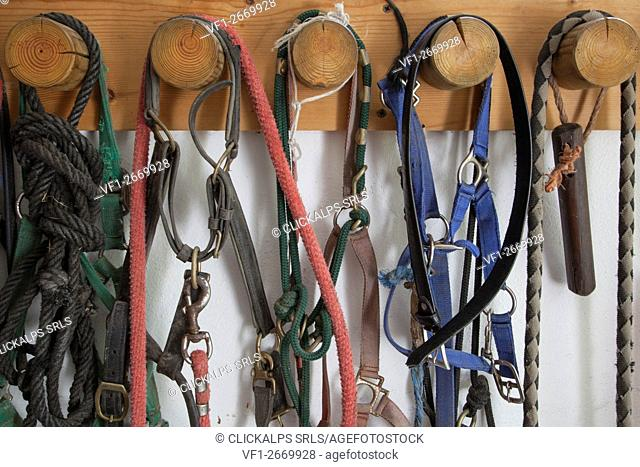 Bridles and halters for horses hung on the wall in the stables of the State Forestry Corp center of Selection Equestrian, Salet, Belluno Dolomites National Park