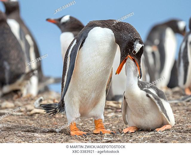 Feeding of chick. Gentoo penguin (Pygoscelis papua) on the Falkland Islands. South America, January