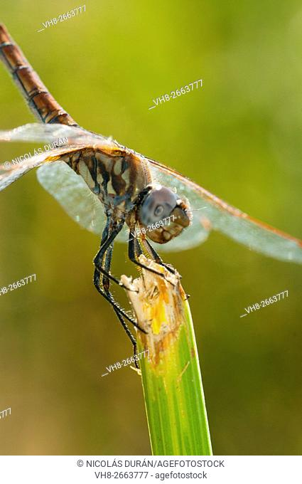 Dragonfly (Sympetrum sp.), Order: Odonata. Sierra de San Pedro, Valencia de Alcántara, Badajoz province, Extremadura, Spain