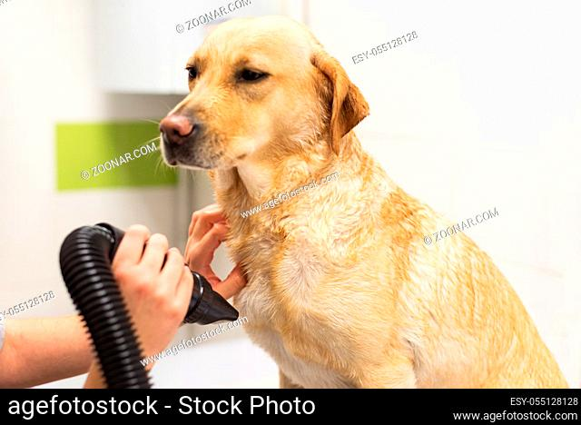 Pet groomer drying Labrador dog fur with a professional hair dryer