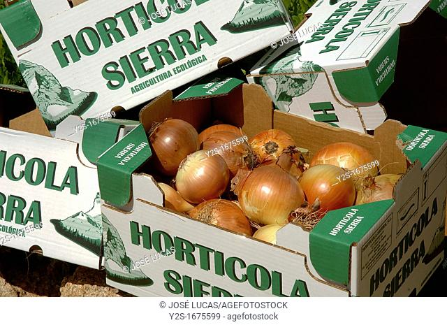 Ecological agriculture, Onions, Navahermosa, Sierra Yeguas, Malaga-province, Spain
