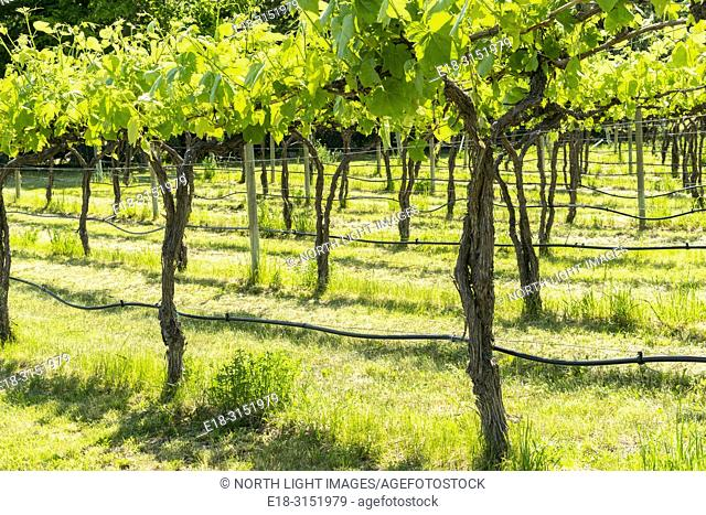 Canada, BC, Keremeos. Young grape vines at Robin Ridge winery. Keremeos is in the southern Okanagan Valley, British Columbia's premier wine making region