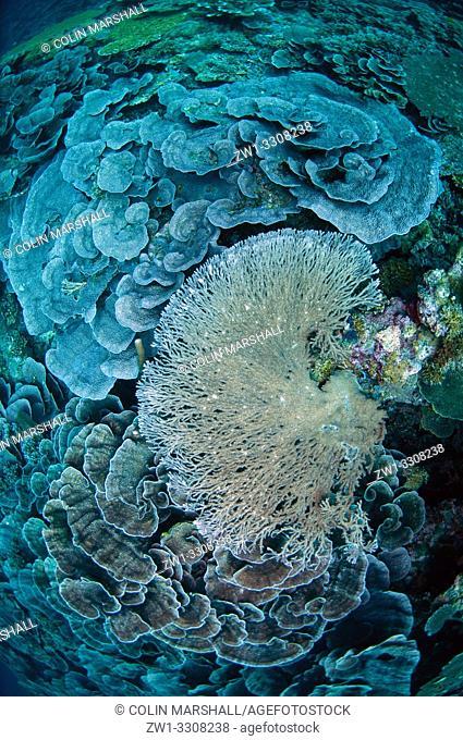 Large Table Coral (Acropora clathrata), Lava Flow dive site, Ambon, Maluku (Moluccas), Indonesia