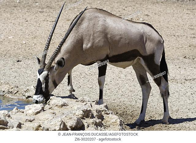 Gemsbok (Oryx gazella) drinking at a waterhole, Kgalagadi Transfrontier Park, Northern Cape, South Africa, Africa