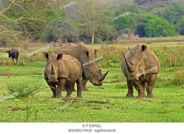 white rhinoceros, square-lipped rhinoceros, grass rhinoceros Ceratotherium simum, three rhinocerosses in green savannah, South Africa, Kwazulu-Natal