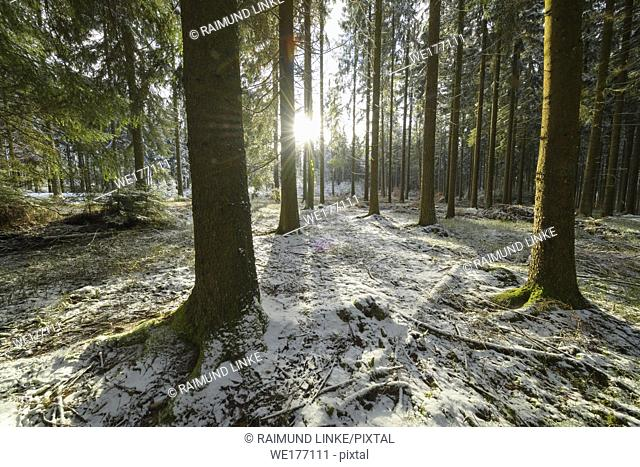 Coniferous forest with sun in winter , Waldbrunn, Baden-Württemberg, Germany