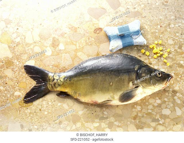 Mirror carp on brown marble with corn cobs