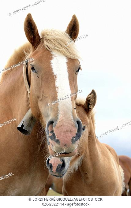 Mare and filly, Pyrénées-Orientales, France, Europe