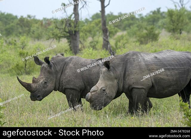 White rhinoceroses or square-lipped rhinoceros (Ceratotherium simum), one dehorned to protect it from poaching, in the Manyeleti Reserve in the Kruger Private...
