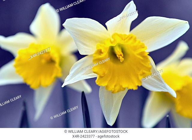 Detail of daffodil flowers