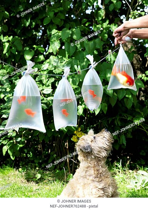 Goldfish in plastic bags hanging on a string, Sweden