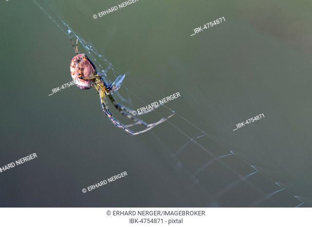 Longjawed orbweaver (Meta segmentata) in the spider web, Emsland, Lower Saxony, Germany