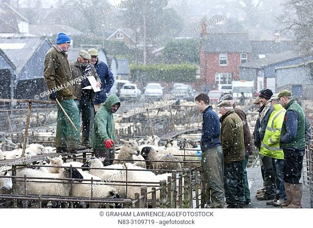 Sheep market, Builth Wells, Powys, Wales, UK