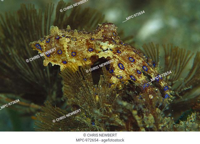 Blue-ringed Octopus Hapalochlaena maculosa, on Algae, 60 feet deep, Papua New Guinea