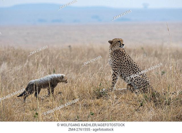 A Cheetah (Acinonyx jubatus) and her kittens in the grassland of the Masai Mara National Reserve in Kenya