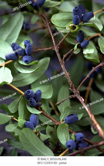 Kamchatka berries on the branch (Lonicera kamtschatica)