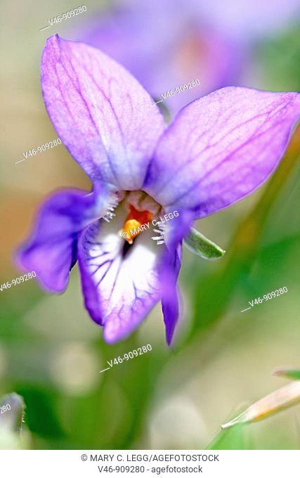 Sweet Violet, Viola odorata Sweet Violet, Viola odorata  Single violet in frame  Intimate