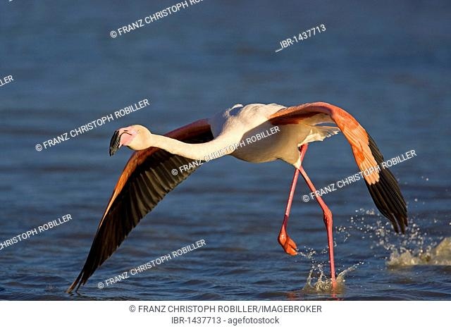 Starting Greater Flamingo (Phoenicopterus ruber), Camargue, southern France, France, Europe