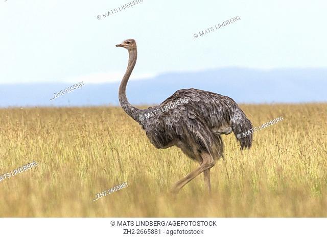 Profile of a female Ostrich in Masai mara, Kenya, Africa