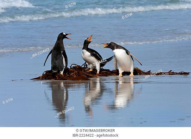 Group of Gentoo penguins (Pygoscelis papua) fighting on the beach, Saunders Island, Falkland Islands, South America