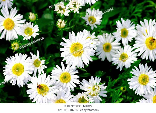 white beautifuls chamomiles