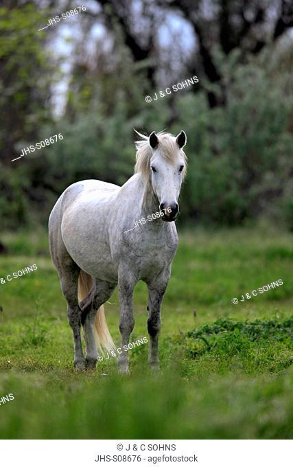 Camargue Horse, Equus caballus, Saintes Marie de la Mer, France, Europe, Camargue, Bouches du Rhone, mare in meadow