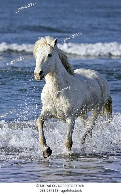 Camargue horse. Saintes-Maries-de-la-Mer. Camargue, Bouches du Rhone. France