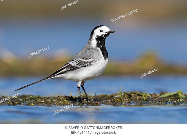 White Wagtail (Motacilla alba), adult standing in a pond, Campania, Italy