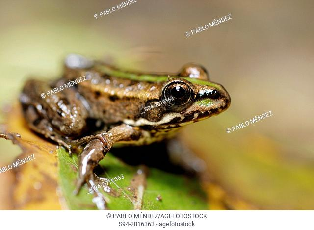 "North-African common frog """"Pelophylax saharicus"""" in a pond of Ifrane, Middle Atlas, Morocco"