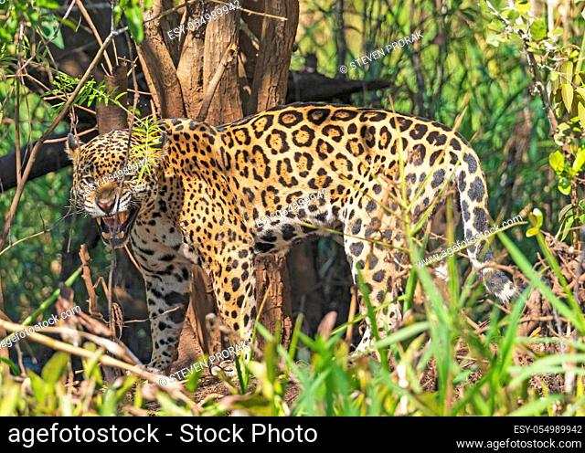 Jaguar Growling in the Jungle in the Pantanal in Brazil