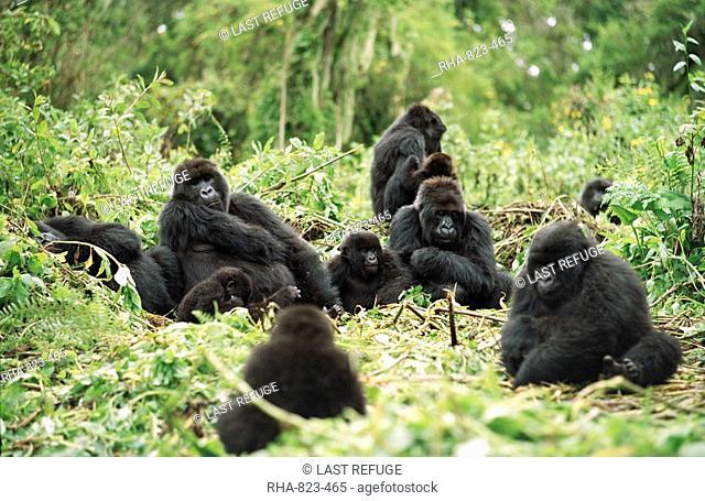 Mountain Gorillas Gorilla gorilla beringei, silverback male resting with group, Virunga Volcanoes, Rwanda, Africa