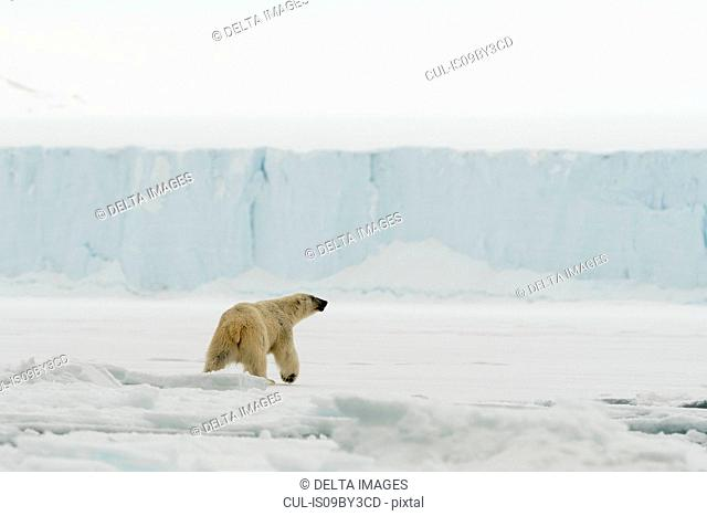 Polar bear (Ursus maritimus on polar ice cap, Austfonna Nordaustlandet, Svalbard, Norway