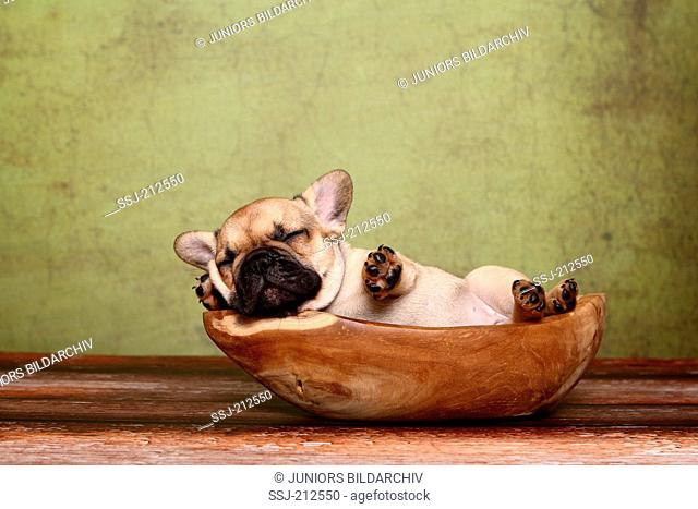 French Bulldog. Puppy (6 weeks old) sleeping in a wooden bowl. Germany
