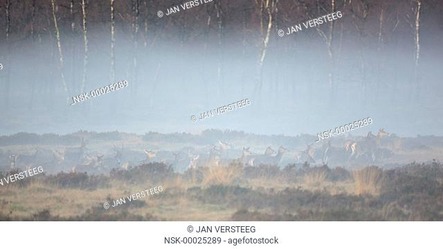 group of Red Deer (Cervus elaphus) and Fallow Deer (Dama dama) in a moorland of Natuurmonumenten coverd in thin fog and with Birch (Betula) trees in the...