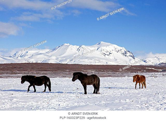 Three Icelandic horses (Equus ferus caballus / Equus Scandinavicus) in the snow in winter on Iceland