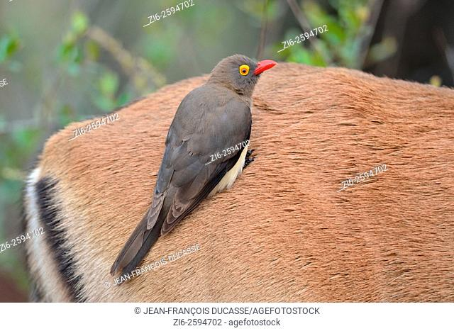 Red-billed Oxpecker (Buphagus erythrorhynchus), sitting on the back of an Impala (Aepyceros melampus), in rainy weather, Kruger National Park, South Africa