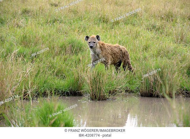 Spotted hyena, laughing hyena, (Crocuta crocuta), by a waterhole, Maasai Mara National Reserve, Kenya
