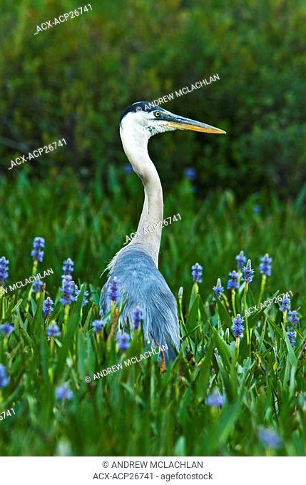 Great Blue Heron Ardea herodias among Pickerelweed Pontederia cordata