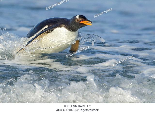 Gentoo Penguin (Pygoscelis papua) returning to land through the waves in the Falkland Islands