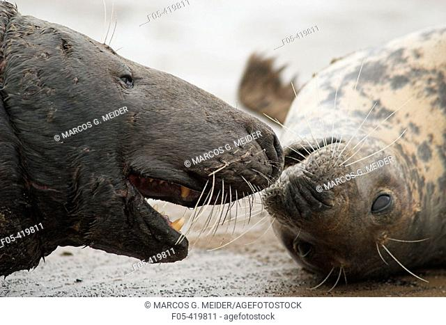 Grey Seal (Halichoerus grypus), male harassing female in an attempt to mate. Donna Nook National Nature Reserve, England. UK