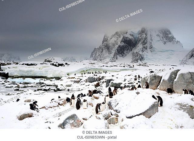 Gentoo penguin colony (Pygoscelis papua), Petermann Island, Antarctica