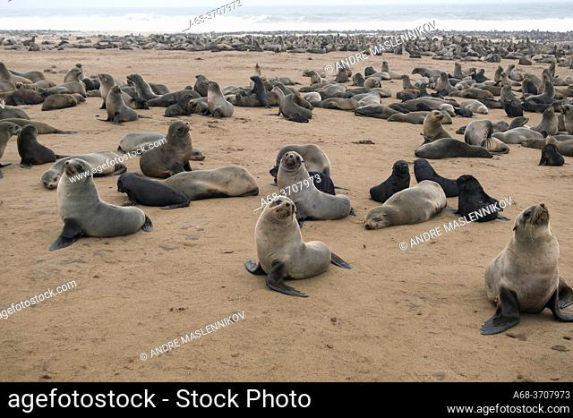 Cape Cross Seal Reserve, Namibia. The Cape Cross Seal Reserve occupies a remote headland on Namibiaâ. . s Skeleton Coast and is home to one of the largest Cape...