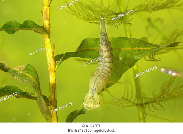 Great diving beetle (Dytiscus marginalis), larva just after skinning with tranlucent organs, Germany