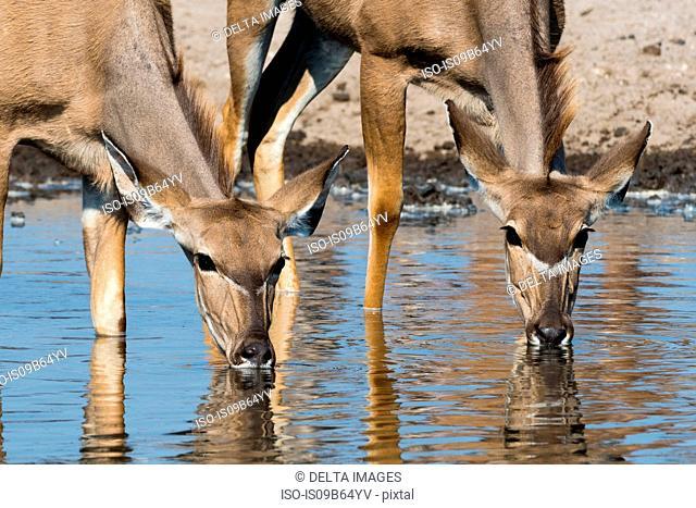 Female Greater kudu (Tragelaphus strepsiceros), at waterhole, Kalahari, Botswana, Africa