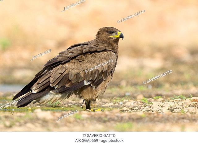 Steppe Eagle, immature standing on the ground, Salalah, Dhofar, Oman (Aquila nipalensis)