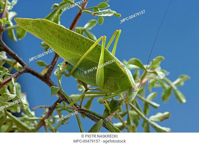 Katydid (Plangia compressa), Namaqua National Park, Northern Cape, South Africa